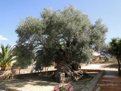оливковое масло для ресниц: польза продукта, правила применения
